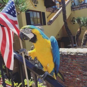 Picture of parrot holding an American flag